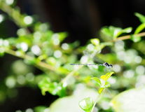 Dark small dragonfly Stock Photography