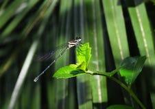 Dark small dragonfly Royalty Free Stock Photography