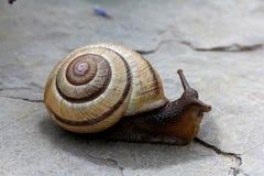 Dark snail on calcareous rock Stock Photos