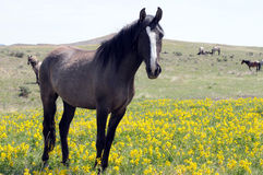Dark Spanish Mustang in wildflowers. Dark wild Spanish Mustang standing in wildflowers stock photos