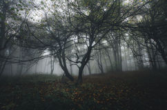 Dark spooky forest with mysterious fog Royalty Free Stock Images