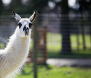 Dark spotted Llama Royalty Free Stock Image