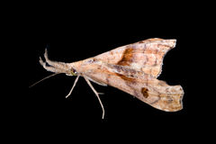 Dark-spotted Palthis Moth Royalty Free Stock Images