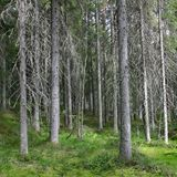 Dark spruce forest in a sunny summer day stock image