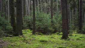 Dark spruce pine forest background young trees. Dark spruce pine forest background, young trees stock footage