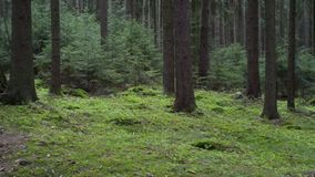Dark spruce pine forest with young green trees. 360 view stock video footage