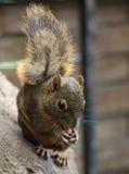 Dark Squirre. A cute little dark squirrel royalty free stock photos