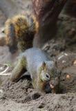 Dark Squirre. A cute little dark squirrel royalty free stock image