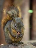 Dark Squirrel. A cute little dark squirrel stock image