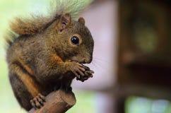 Dark Squirrel. A cute little dark squirrel stock photos