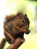 Dark Squirrel. A cute little dark squirrel royalty free stock photo