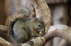 Dark Squirrel. A cute little dark squirrel stock images