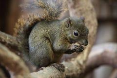 Dark Squirrel. A cute little dark squirrel royalty free stock photography