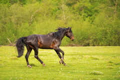 The Dark Stallion runs along the green pasture in the spring against the background of the green forest royalty free stock image