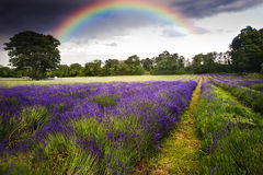 Dark storm clouds over lavender field Stock Photos