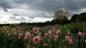 Storm clouds over pink flowery meadow. Dark storm clouds over pink flowery meadow gardens at Chartwell, UK royalty free stock photos