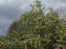 Dark stormy autumn sky with clouds and old yellow apple tree. wild Apple orchard Royalty Free Stock Image