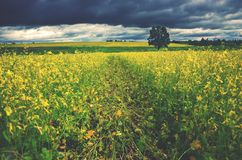 Countryside summer landscape with a single oak tree growing in a yellow field of flowering rapeseed. Dark stormy clouds in dramatic overcast sky over the fields royalty free stock photo