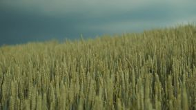 Dark stormy clouds over the field of golden wheat, wheat or rye ears moving under the wind. Beautiful nature, pure area. Lovely landscape. Countryside, nature stock footage