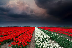 Dark stormy clouds over tulip field Royalty Free Stock Images