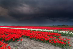 Dark stormy sky over tulip field Stock Photo