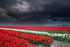 Dark stormy sky over tulip field Stock Photos