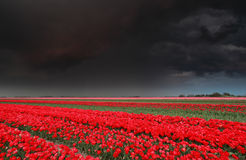 Dark stormy sky over tulip field in spring Royalty Free Stock Photos