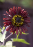 Dark Sunflower Royalty Free Stock Images