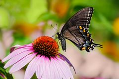 Dark swallowtail butterfly on pink cone flower royalty free stock photography