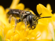 Dark Sweat bee  extracts pollen from a yellow flower Stock Image