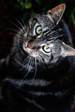 Dark Tabby Stock Image