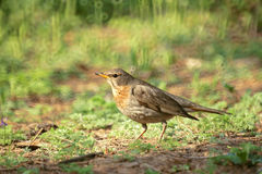 Dark-throated Thrush Stock Photos
