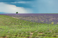 Dark thundercloud and rain above a colorful lavender field Royalty Free Stock Photography