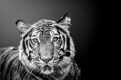 Dark tiger Royalty Free Stock Photography