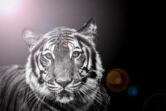 Dark tiger Stock Image
