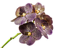 Dark tiger orchid isolated on white background. Stock Photography