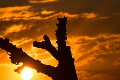 Dark Tree against the Natural Sunset Photograph. Beautiful sunset photo with silhouette tree dark natural background photograph Stock Photos