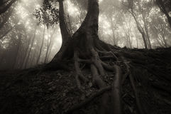 Dark tree with big roots in mysterious forest on Halloween Royalty Free Stock Photos