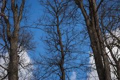 Dark trees branches against the background of blue sky and white Royalty Free Stock Images
