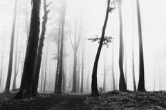Dark trees in the misty forest. Spooky atmosphere Royalty Free Stock Images