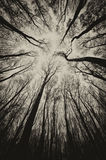 Dark trees in a mysterious forest on Halloween. Dark trees in a dark mysterious forest on Halloween stock photo