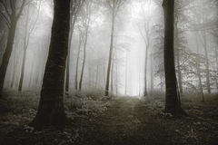 Dark trees with visible roots in a forest with fog Royalty Free Stock Images