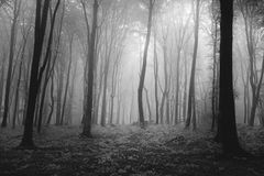Dark trees with visible roots in a forest with fog Royalty Free Stock Photography