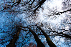 Dark treetops with blue sky on a background Stock Photos