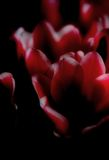 Dark tulip Royalty Free Stock Image