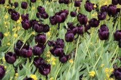 Dark tulips. A field of dark tulips royalty free stock image