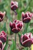 Dark tulips closeup Stock Photos