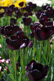 Dark tulips in garden Royalty Free Stock Photography