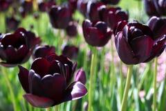 Dark tulips in garden Stock Image