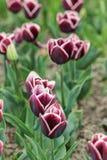 Dark tulips in the spring garden Royalty Free Stock Photo